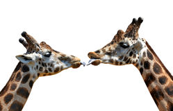 Portrait of a kissing giraffes Royalty Free Stock Photography