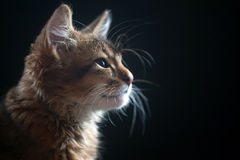 Portrait of a kitten Royalty Free Stock Photo