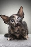 Portrait of kitten Royalty Free Stock Photography