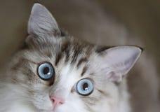 Portrait of kitten with blue eyes