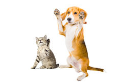 Portrait of a kitten and dog. With raised legs Royalty Free Stock Photography