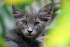 Portrait of kitten face close up. Portrait of kitten face with huge ears close up behind bushes Stock Photos