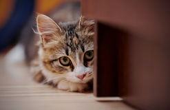 Portrait of the kitten of a multi-colored color who hid in an ambush. Stock Photos
