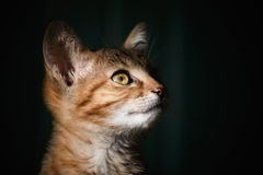 Portrait of Kitten. Portraite of Little Outbred Kitten over Dark Background Stock Image