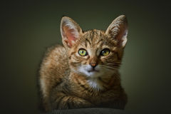 Portrait of Kitten Royalty Free Stock Image