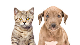 Portrait of a kitten and puppy Royalty Free Stock Photos