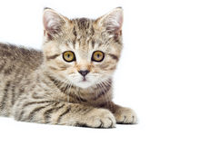 Portrait kitten Scottish Straight Royalty Free Stock Images