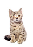 Portrait  kitten Scottish Straight Royalty Free Stock Image