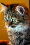 Portrait of a kitten on a yellow background. royalty free stock images