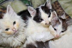 Portrait of kittens Stock Image
