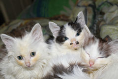 Portrait of kittens Stock Image