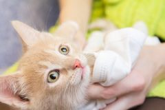 Portrait of kitty cat in hands. Portrait of funny resting kitty cat dressed in clothes, closeup soft focus, shallow depth of field stock images
