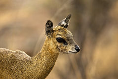 Portrait of klipspringer Stock Photo