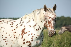 Portrait of knabstrupper breed horse - white with brown spots Royalty Free Stock Image