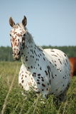 Portrait of knabstrupper breed horse - white with brown spots Stock Image