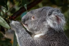 Portrait of a koala feeding on gum leaves royalty free stock images