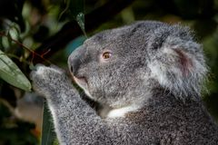Portrait of a koala grasping gum leaves in its paw. Portrait of a koala grasping gum leaves as it is munching on its current mouthful Royalty Free Stock Photos