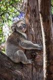 Portrait of Koala hugging a tree. Stock Image