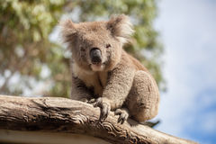 Portrait of Koala sitting on a branch Stock Photo