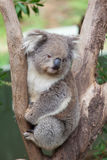 Portrait of Koala sitting on a branch Royalty Free Stock Photography