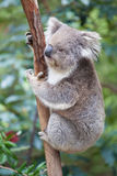 Portrait of Koala sitting on a branch Stock Photos