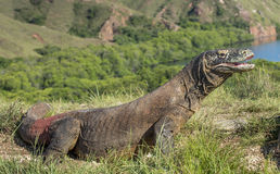 Portrait of the Komodo dragon is the biggest living lizard Royalty Free Stock Photo