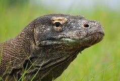 Portrait of a Komodo Dragon. Close-up. Indonesia. Komodo National Park. stock image