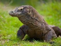 Portrait of a Komodo Dragon. Close-up. Indonesia. Komodo National Park. Royalty Free Stock Photo