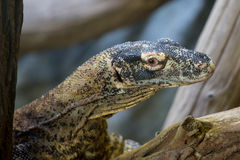 Portrait of komodo dragon Royalty Free Stock Images