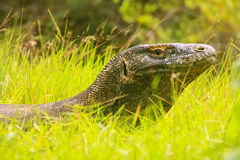 Portrait of Komodo dragon lying in grass on Rinca Island in Komo Royalty Free Stock Image