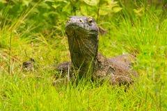 Portrait of Komodo dragon lying in grass on Rinca Island in Komo Royalty Free Stock Photography