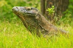 Portrait of Komodo dragon lying in grass on Rinca Island in Komo Royalty Free Stock Images