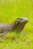 Portrait of Komodo dragon lying in grass on Rinca Island in Komo Stock Photo