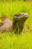 Portrait of Komodo dragon lying in grass on Rinca Island in Komo Royalty Free Stock Images
