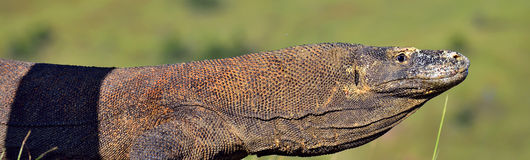 Portrait of the Komodo dragon  Varanus komodoensis  is the big Royalty Free Stock Photos
