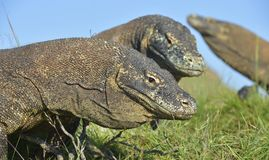 Portrait of the Komodo dragon  Varanus komodoensis  is the big Stock Photos