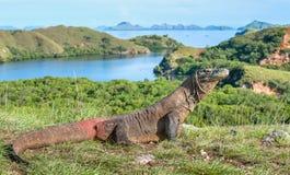 Portrait of the Komodo dragon Varanus komodoensis is the big. Gest living lizard in the world. On island Rinca. Indonesia stock image