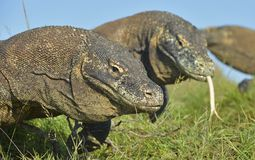 Komodo dragon  Varanus komodoensis Royalty Free Stock Photo