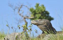 Portrait of the Komodo dragon ( Varanus komodoensis ) is the biggest living lizard in the world. Royalty Free Stock Photo