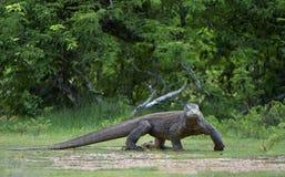 Portrait of the Komodo dragon ( Varanus komodoensis ) is the biggest living lizard in the world. Stock Images