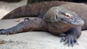 Portrait of a Komodo Dragon.VARANUS KOMODOENSIS. Close-up of a relaxed Komodo dragon, which looks around stock video