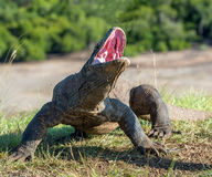The Portrait of Komodo dragon  Varanus komodoensis  with opened a mouth. Biggest living lizard in the world. Island Rinca. Indonesia Stock Photography