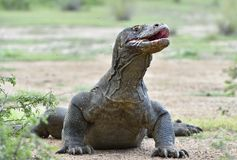 The Portrait of Komodo dragon  Varanus komodoensis Royalty Free Stock Images
