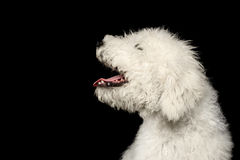 Portrait of Komondor Dog Royalty Free Stock Images