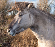 Portrait of a Konik horse Royalty Free Stock Images