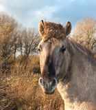Portrait of a Konik horse Stock Photography