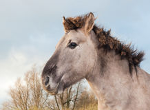 Portrait of a Konik horse Royalty Free Stock Image
