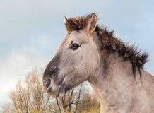 Portrait of a Konik horse Royalty Free Stock Image