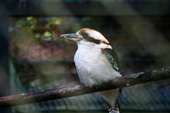 A portrait of kookaburra in the zoo Royalty Free Stock Photography