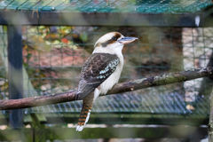 A portrait of kookaburra in the zoo Royalty Free Stock Photos